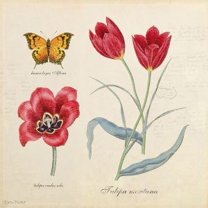 Katie Pertiet Classic Botanical Tulip