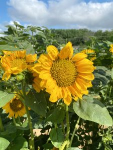 Katie Pertiet sunflowers